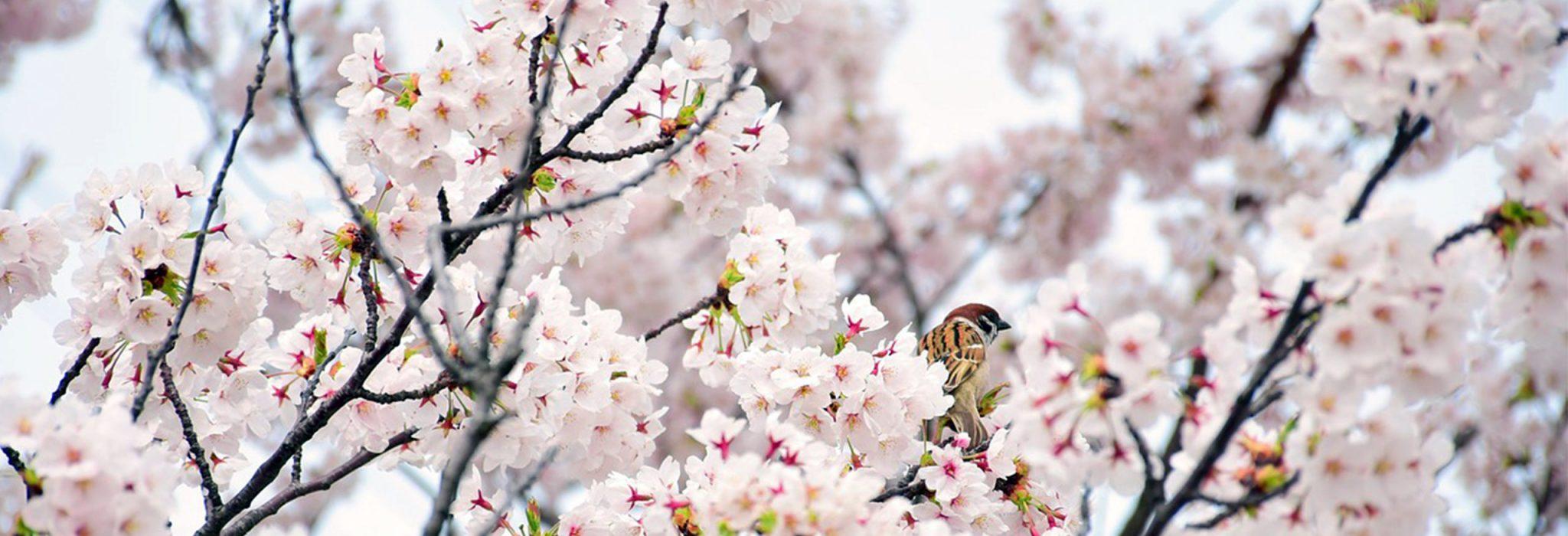 cherry blossom slide image